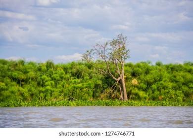 Lake shore papyrus reed growth