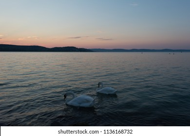 the lake swan with white swans in a sunny weather, Balaton, Hungary
