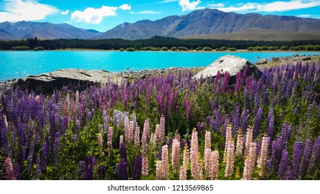 Lake Tekapo is in the South Island of New Zealand. This lake has color of green, mixed with blue and is called  turquoise lake. Beautiful lupine flower around the lake and surrounded by mountain.