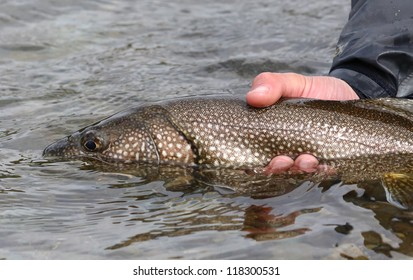 Lake Trout Salvelinus Namaycush