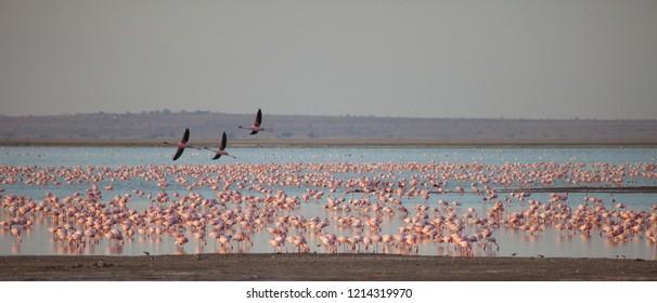 Lake turned pink with flamingos