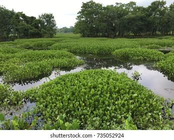 Lake vegetation hyacinth