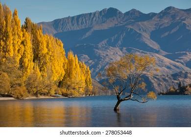 Lake Wanaka in autumn colors , Glendhu Bay , south island, New Zealand