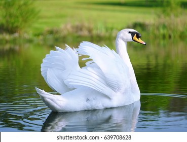 Lake with a white swan