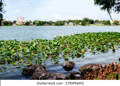 lakeland, FL / USA - 08 02 2020:  Swan and Lake Morton at city center of lakeland Florida