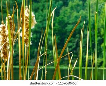 Lakeside Fluffy Cattails