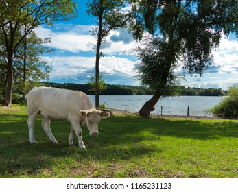 lakeside pasture with charolais cow in the shadow of a tree