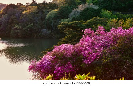 A Lakeside View in Ejio Park at Spring Sunset, with Rhododendron Reticulatum in Full Bloom; the Beautiful Park is in the City of Sanyo-Onoda, Yamaguchi Prefecture, Japan.