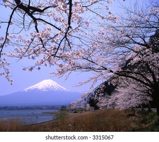 Lakeside view of Mount Fuji in Spring with cherry blossoms