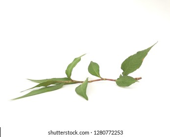 laksa leaf isolated in white background