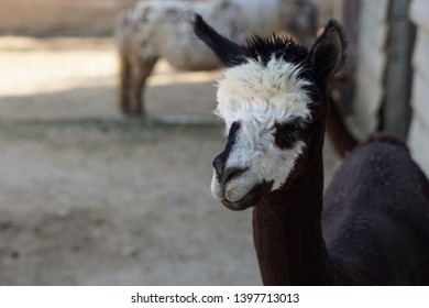 Lama Alpaca baby closeup with black and white hair