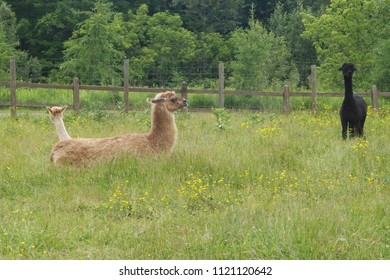 lama alpacas in green field country wool agriculture