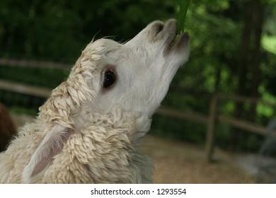 lama eating leaves