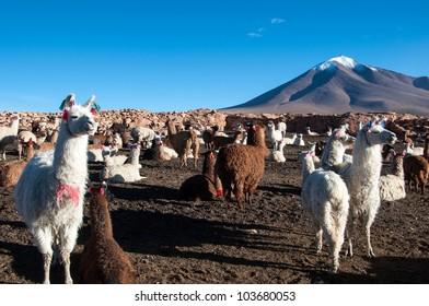 Lama Farm
