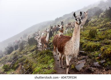 lama (lama glama) of a lama caravan in the rainy andes, near Cusco, peru, south america
