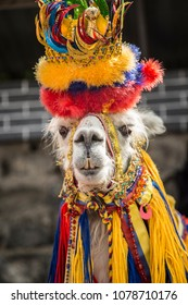 lama glama - Ipiales - colombia