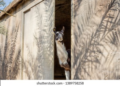 Lama looking out of the shelter. Shabby chic background. Nosy neighbor.