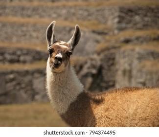 Lama at machu picchu Peru