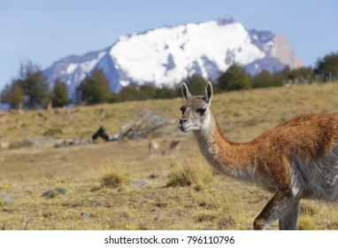 lama on flank of hill in Torres del Paine, Chile Patagonia