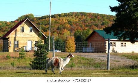 Lama in Quebec. Canada, north America.