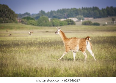 Lama running in South-Africa
