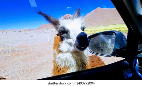 The lama, from Salta, Argentina. In the Puna área.