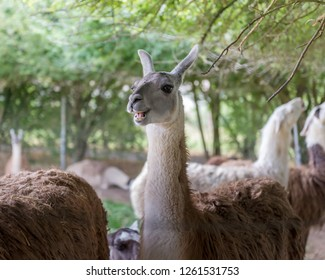 Lama is a South American mammal from the family of camelids