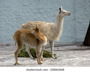 Lama-daughter and Lama-mom The llama is a South American mammal of the camel family, domesticated by the Indians of the Andes.This is a large herbivore.