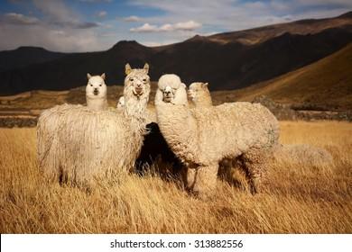 Lamas (Alpaca) in Andes,Mountains, Peru