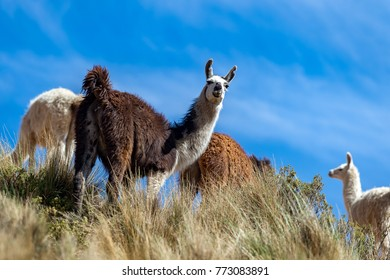 Lamas in the Andes against the blue sky