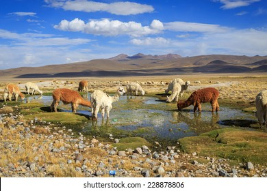 Lamas in the Andes near Arequipa and Colca Canyon