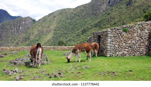Lamas at the Machu Picchu or Machu Pikchu (Quechua machu old, old person, pikchu pyramid; mountain or prominence with a broad base which ends in sharp peaks