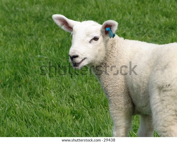 Lamb baaing..Space for copy