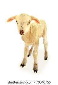 Lamb baby sheep