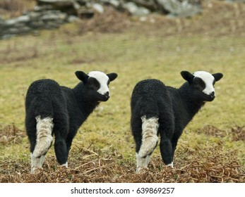 Lamb Cloning, A pair of identical lambs in a field.
