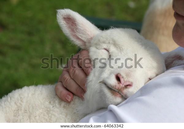 Lamb cuddling in to his human friend.