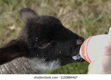 Lamb drinking milk with a bottle of a baby