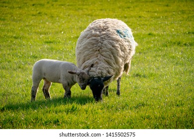 Lamb with ewe in a field in the Northamptonshire England UK