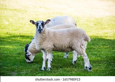 Lamb and ewe in the sun