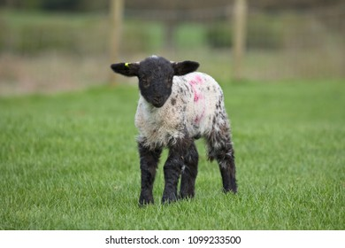 Lamb in a field in North Yorkshire, England, United Kingdom