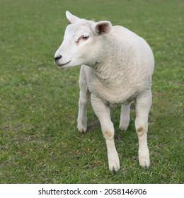 Lamb of Flemish white sheep
