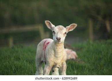 Lamb Forty Nine