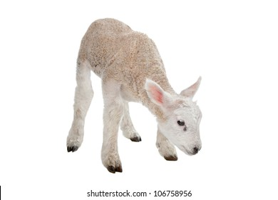 Lamb in front of a white background