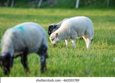 Lamb grazes in green field of grass in Ireland