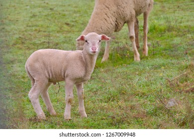 Lamb grazing with his mother sheep in the pasture