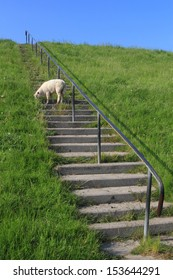 lamb grazing on a levee