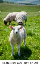 Lamb grazing on the South Downs hill in rural Sussex, Southern England, UK