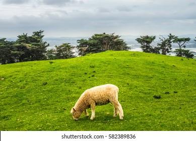 Lamb grazing in the pasture