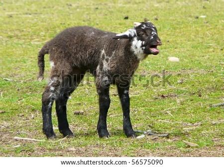 lamb hog island sheep bleating mother stock photo edit now