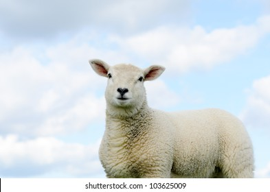 Lamb isolated against blue sky in the Peak District National Park Derbyshire.